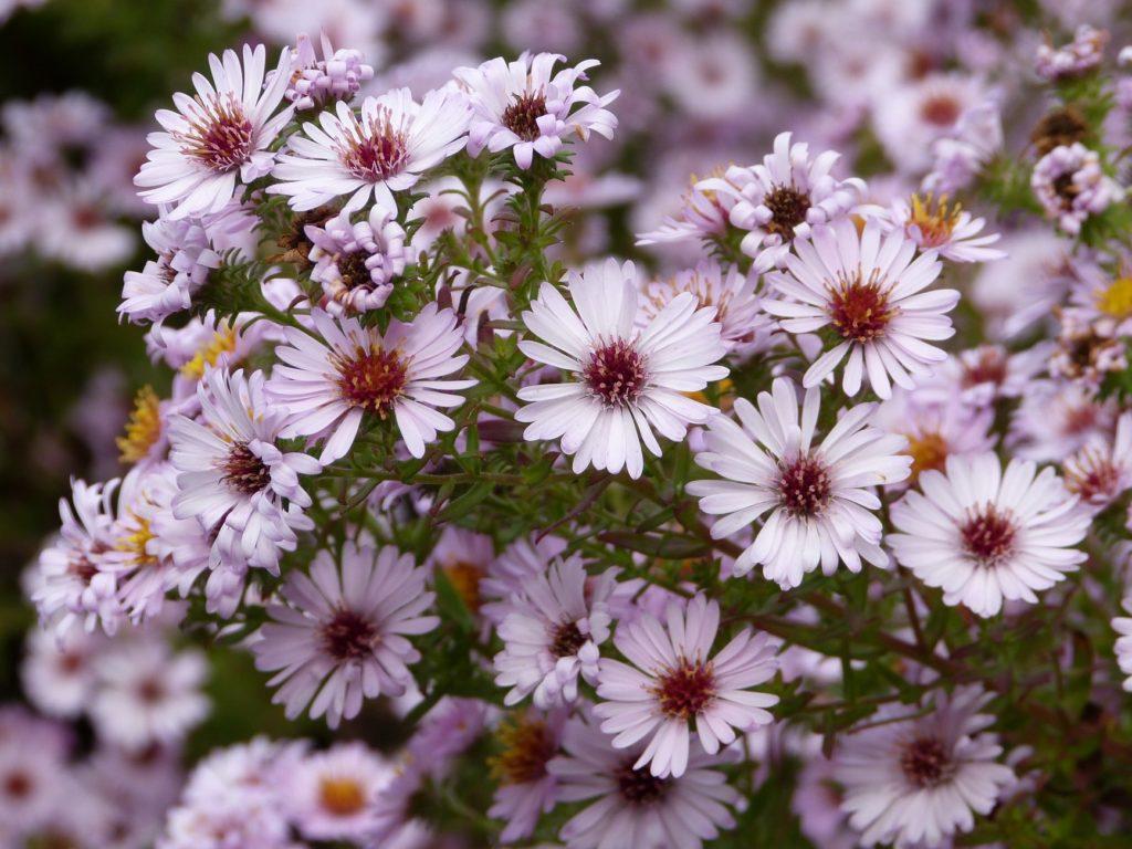Die Amethyst-Aster gehört zu den Kleinblütigen Herbstastern.