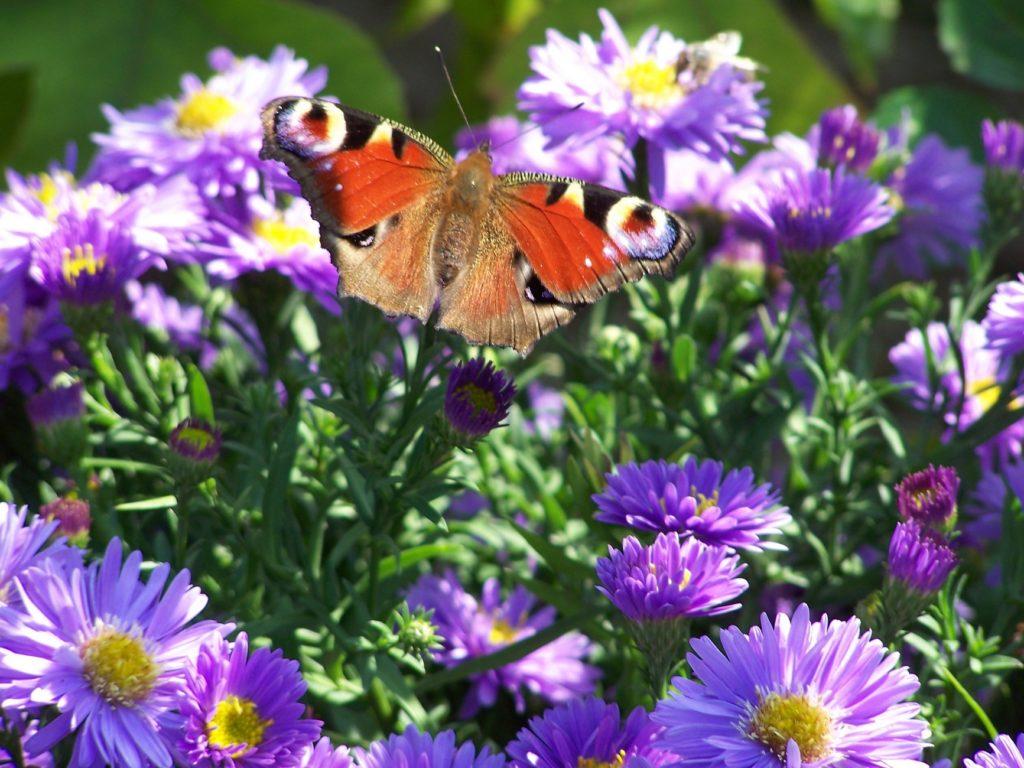 Schmetterlinge, Bienen und Hummeln lieben Herbstastern.
