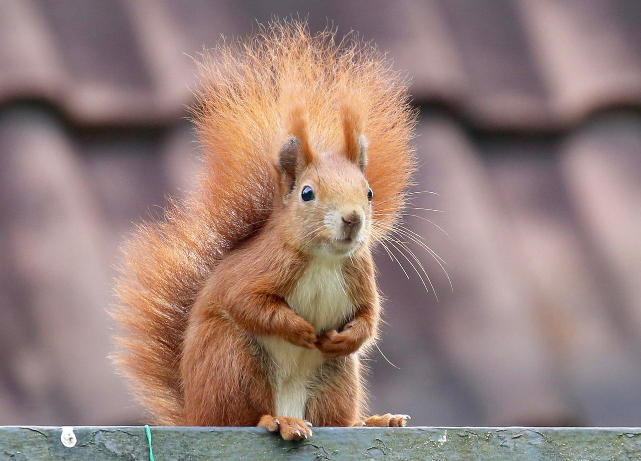 Für Eichhörnchen gestaltet sich die Futtersuche in diesem Jahr etwas schwieriger.