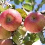 Einheimische Äpfel Superfood