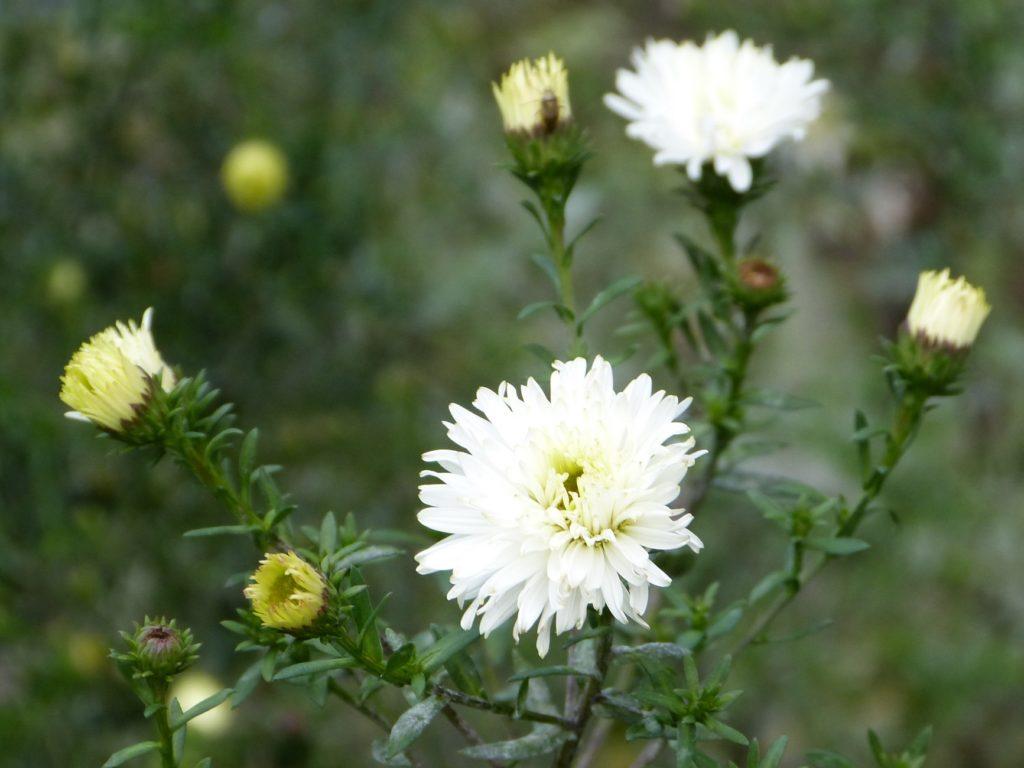 Weiße Blüten leuchten auch an trüben Herbsttagen.