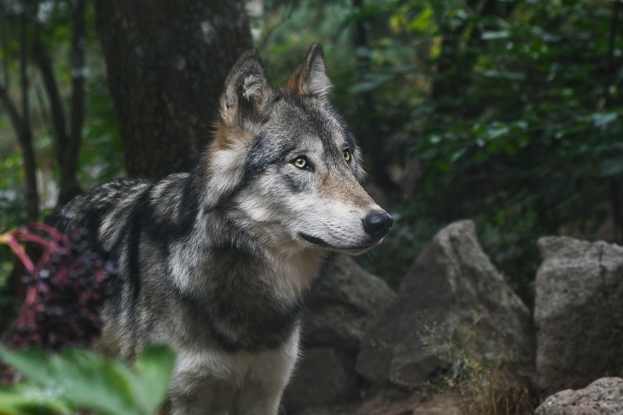Der Wolf – ein sanfter Wilder - Das Online-Magazin – so vielseitig ...