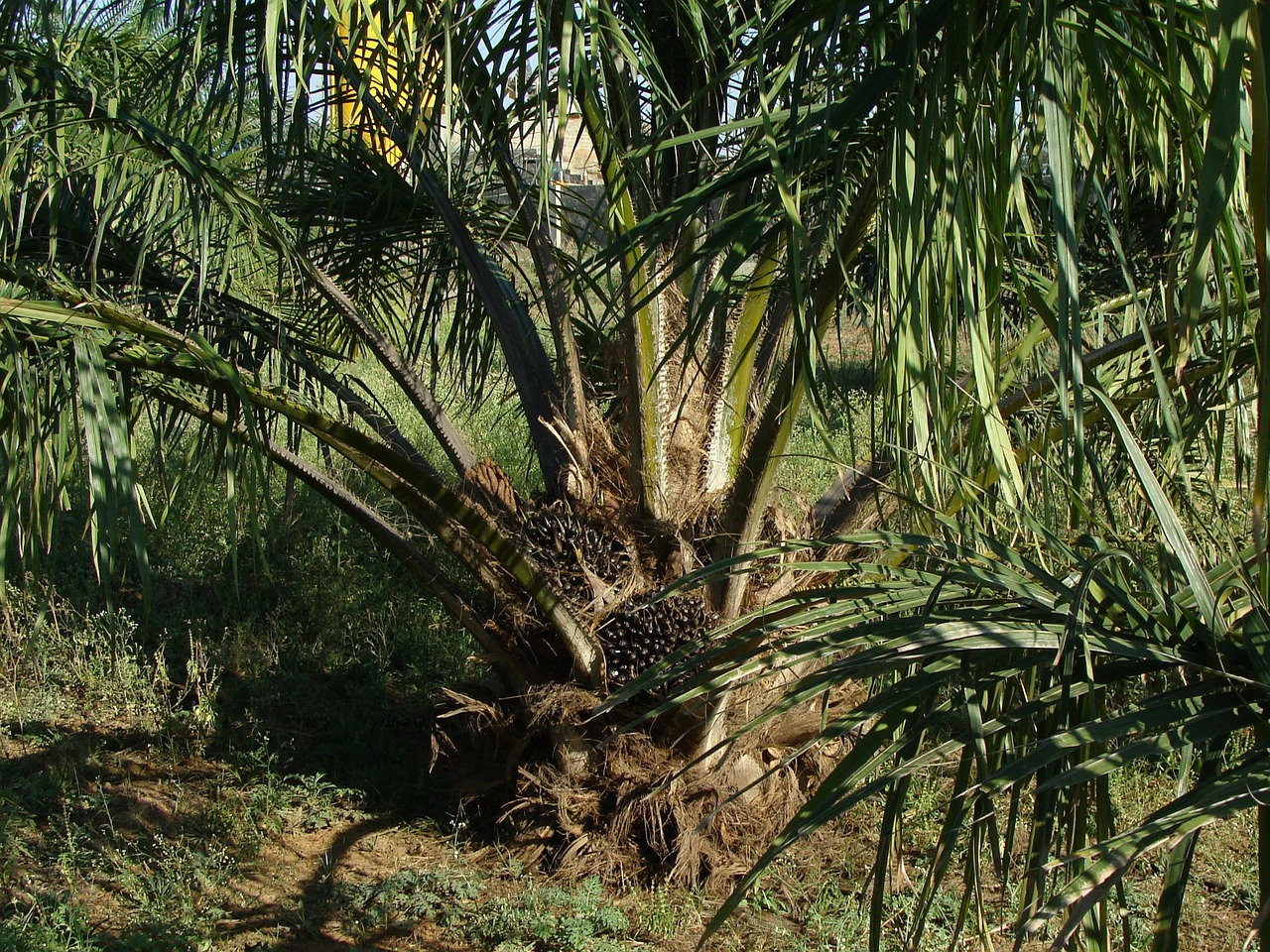 Palmöl wird aus dem Fruchtfleisch der Ölpalme gewonnen.