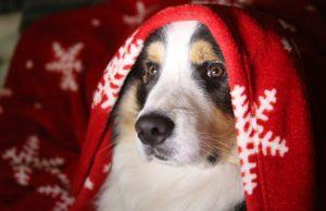 Hund in Decke