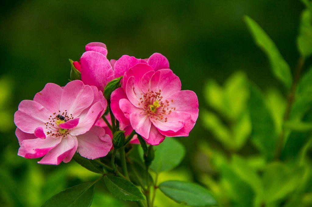Rosen für den Garten