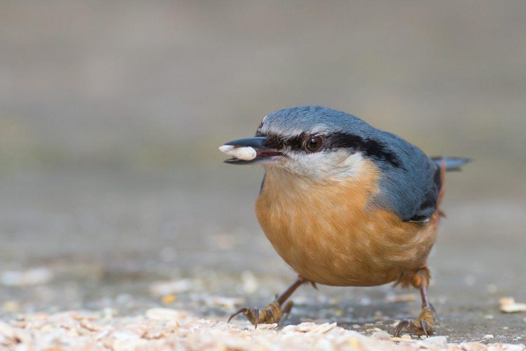 Kleiber am Futterplatz, Gartenvögel