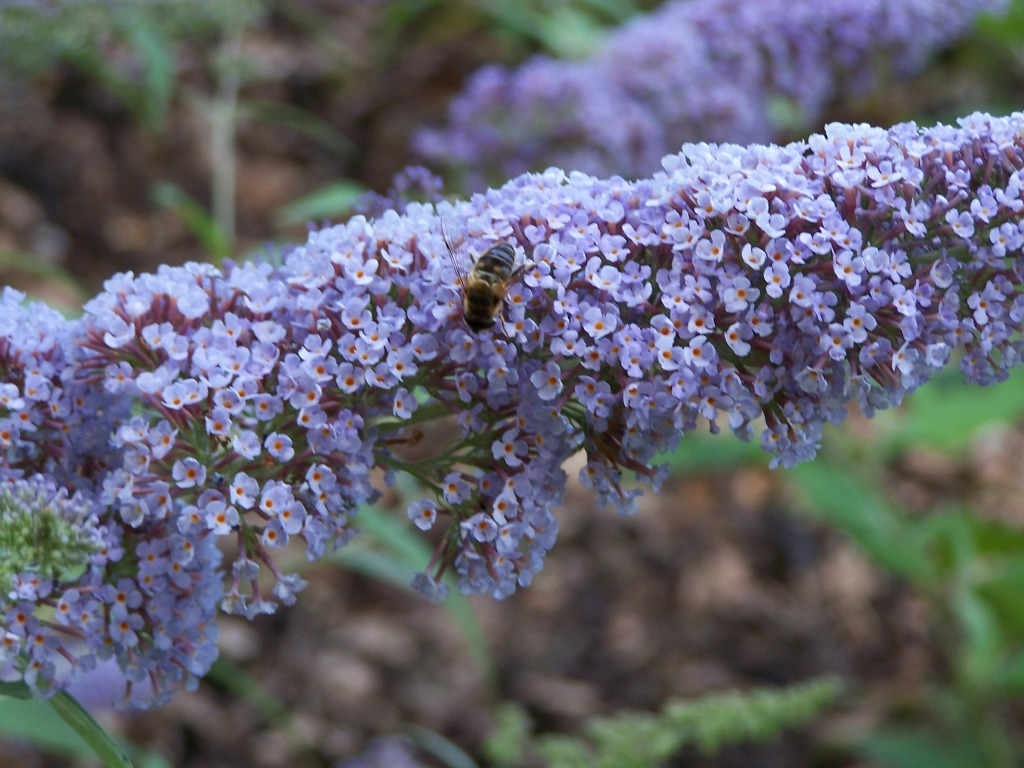 Sträucher Buddleja Pixi Blue