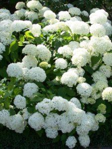 Sträucher Hydrangea arborescens Annabelle