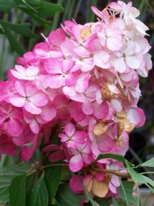 Sträucher Hydrangea paniculata Vanille Fraise