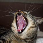 Katze zeigt ihr Gebiss