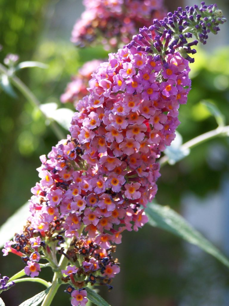 Buddleja 'Flower Power'