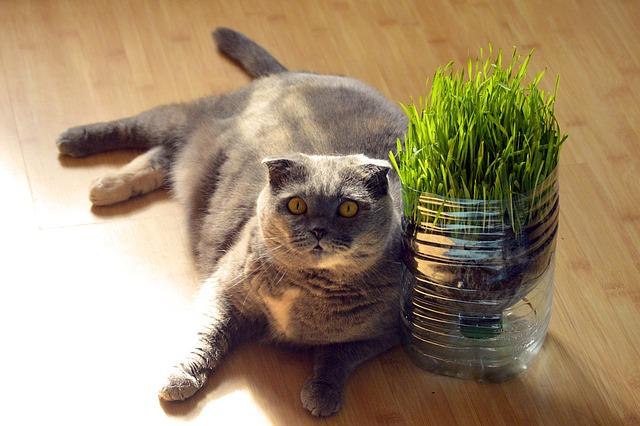 Dicke Katze liegt neben Katzengras