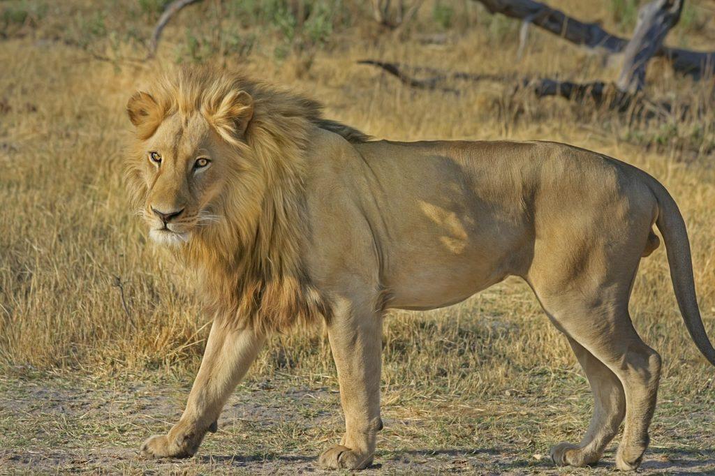 männlicher Löwe, Angriffe abwehren
