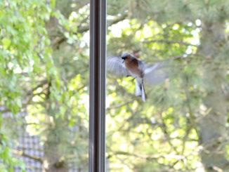 Vogel im Anflug auf Fensterscheibe